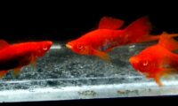 "SWORDTAIL RREA TUXEDO SWORDTAILS Young 1/2"" SIZE ( 1 Pair + 3 Fry) with FREE SHIPPING"