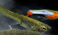 Endler Blue Star Campoma Endler PAIR (1 Male + 1 Female + 3 Fry)