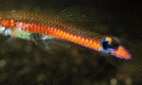 Guppy Pair of RARE Campona Orange Line 'Poecilia wingei cumana' aka 'El Salto' Orange Line Guppies