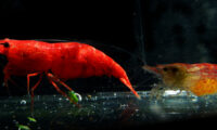Shrimp - Red Cherry Shrimp QTY (10+) with FREE SHIPPING