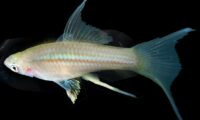 SWORDTAIL Green Hi-Fin Lyretail *Reverse Trio (1HF-M+1S-FM+1HF-F) / Shipping Included