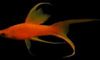 SWORDTAIL Tangerine Hi-Fin Lyretail *Reverse Trio (1HFM+1SFM+1HFF) / Shipping Included
