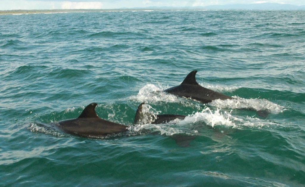 3 dolphins swimming uvita costa rica
