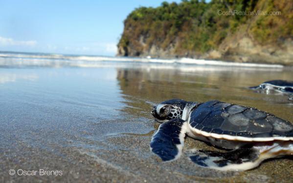 turtle on beach costa rica