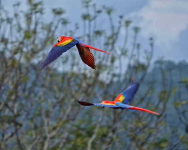 costa rica scarlet macaw