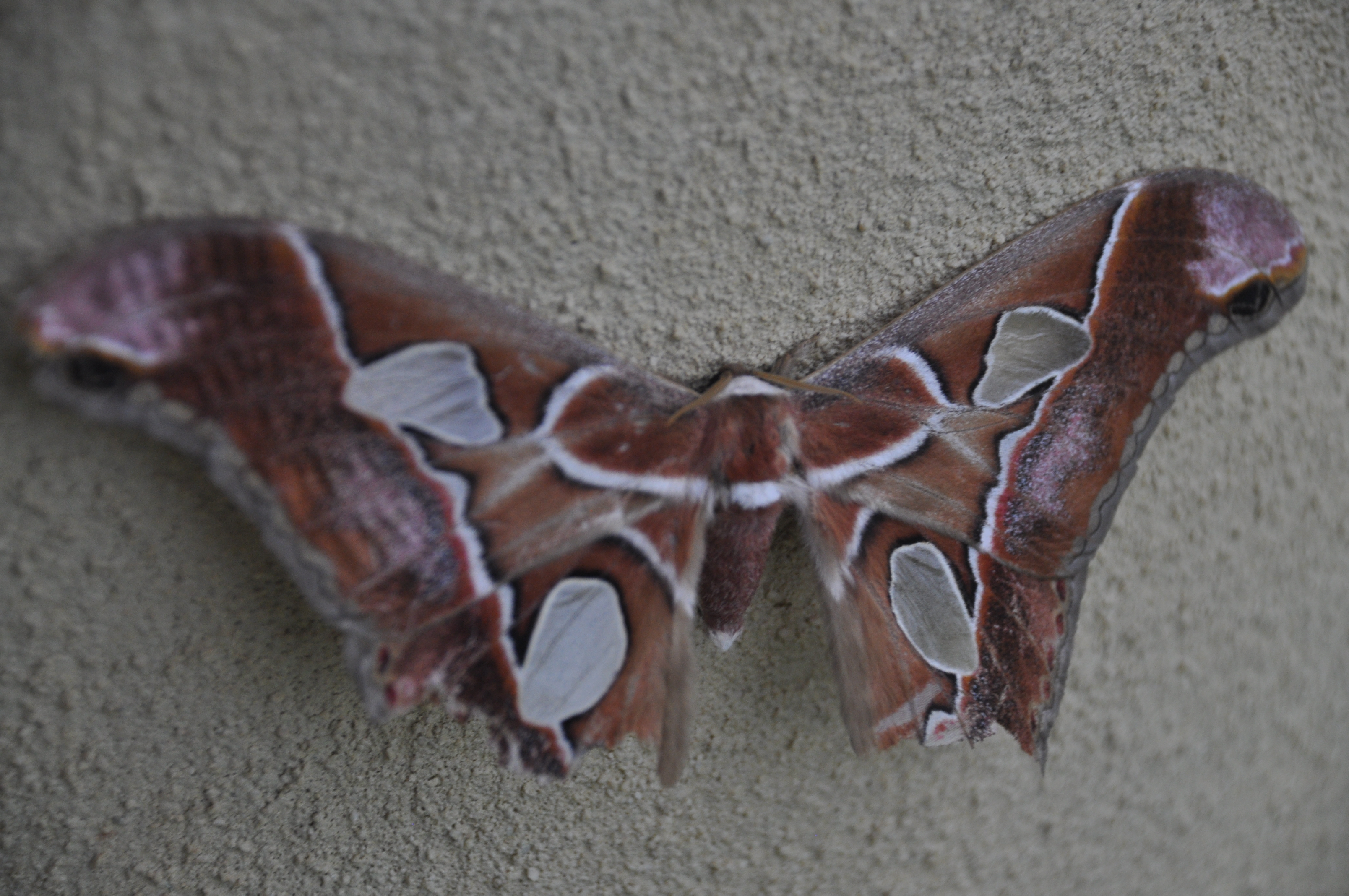 costa rica butterfly moth