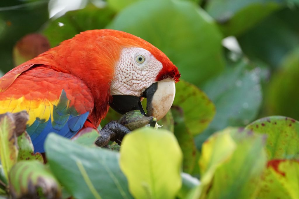 Macaw Costa Rica hz eating