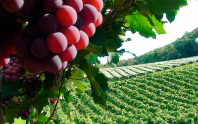 Famosa por suas uvas   As 100 Palavras Mais Usadas em Inglês   Palavra #74