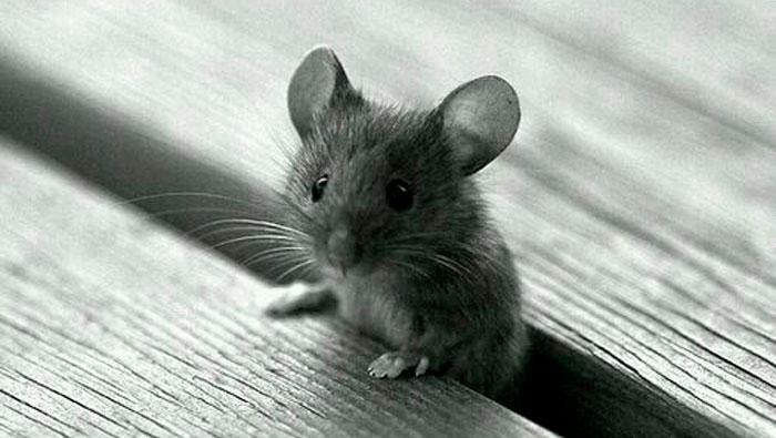 Eu tenho dó de ratinhos.   Inglês Todos os Dias #472