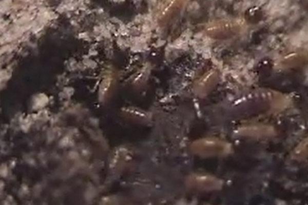 Conehead or Tree Termite