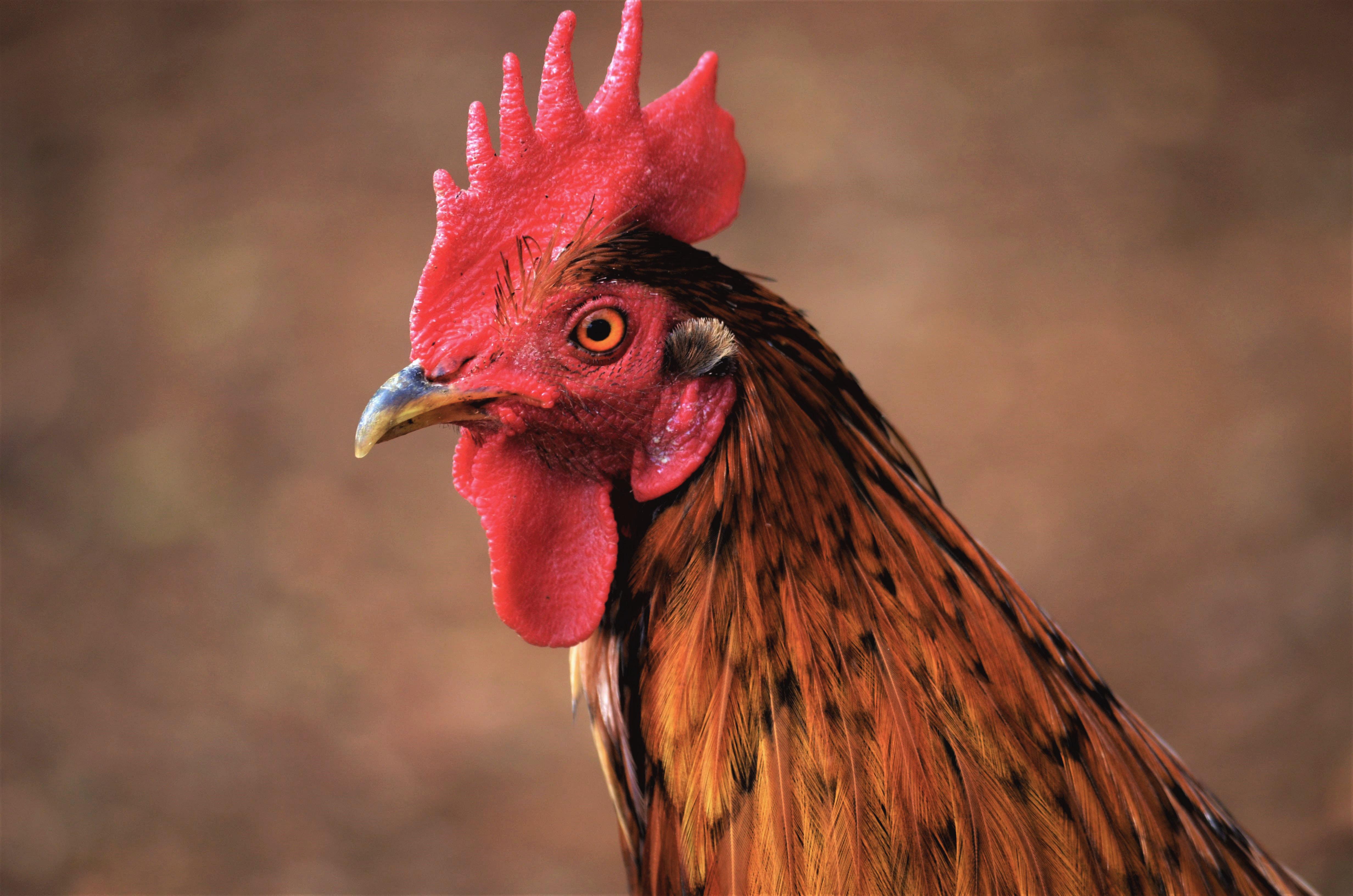 Kauai Rooster Closeup