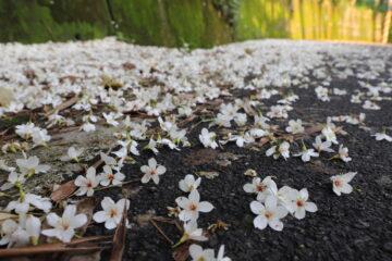 油桐花與山城客庄