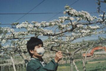 我引進了「梨人工授粉」 (三)