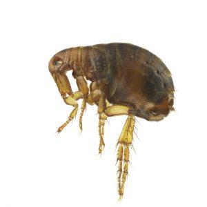 Wildlife fleas