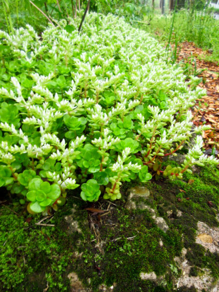 Sedum ternatum native plants