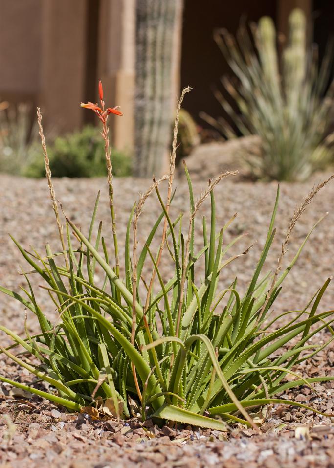 Topaz Aloe