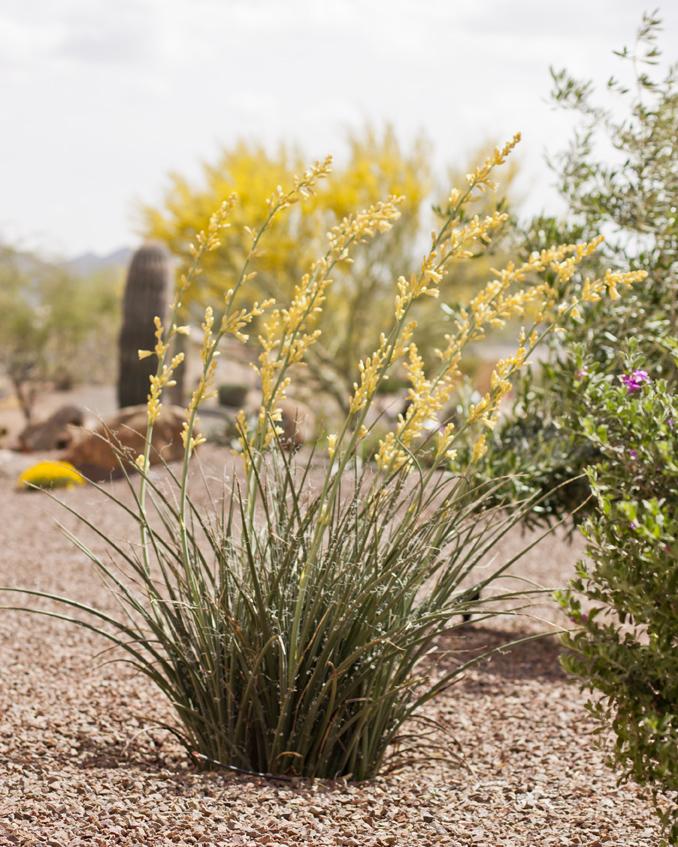 Yellow-Tip Yucca