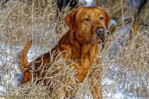 Puppies Available | Iowa Pointing Labs