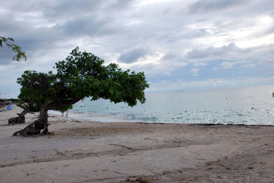 Eagle Beach, Aruba - with its iconic Dividivi tree, it is listed in the trip advisor top 25 beaches around the world