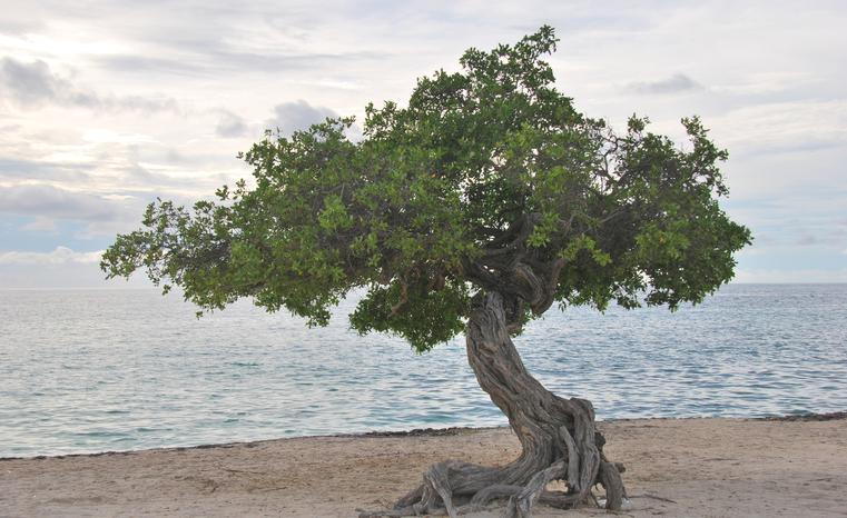 Aruba's Iconic Divi Divi Tree or Watapana Tree. This Tree is situated on the Eagle Beach and always point to Southwesterly direction due to trade winds blowing from North East. It acts as Aruba's natural compass.Attempts to plant the tree elsewhere around the world proved futile.