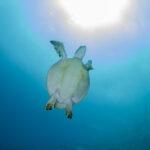 turtle dive division