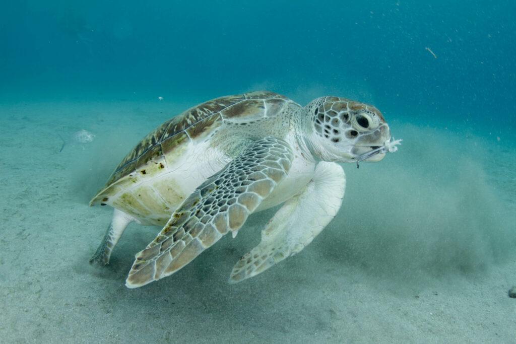 turtle curacao