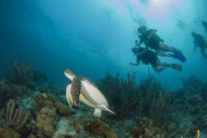 Blue Bay Turtle