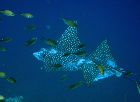 Boat Dive eagle rays