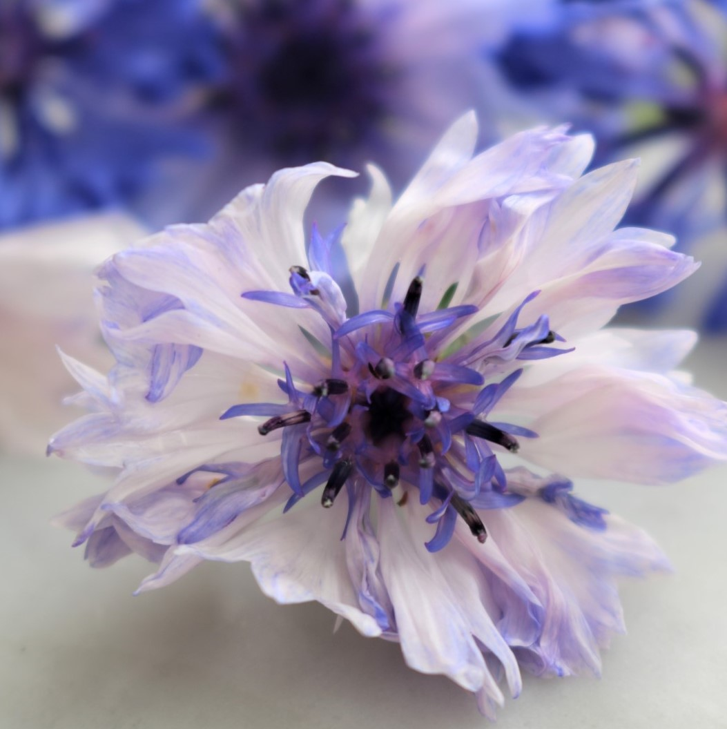Cornflowers by New Zealand Herbal Brew