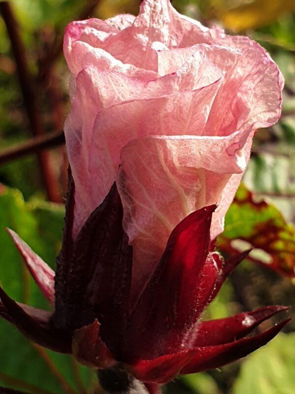 Hibiscus Flowers - New Zealand Herbal Brew
