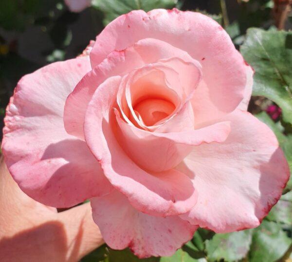 Calming Flower Essence Rose Sylvia