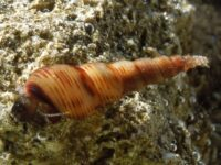 MALAYSIAN TRUMPET SNAILS Quantity (10) with FREE SHIPPING $12.50
