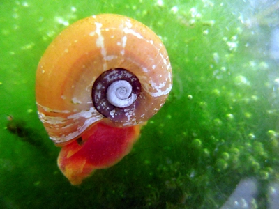 Red Ramshorn Snails Quantity (6) with Free Shipping
