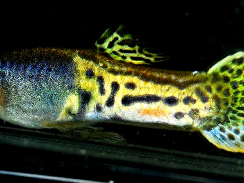European Cobra Metalhead Roundtail Guppies