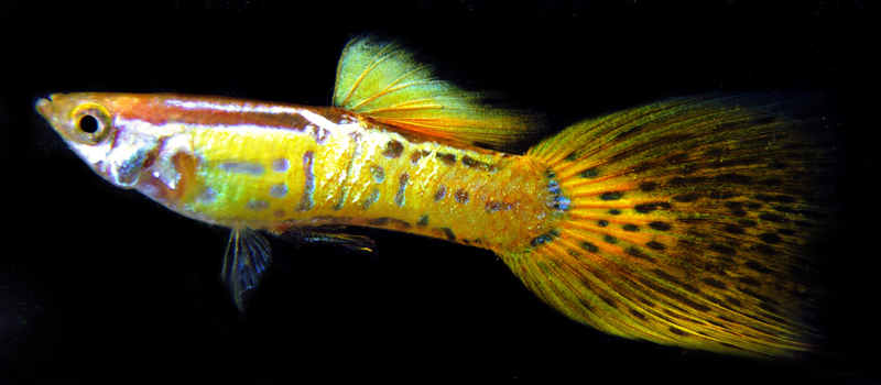 Yellow Cobra Guppy - Young Adult