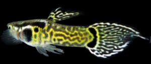 Livefins Snakeskin Endlers