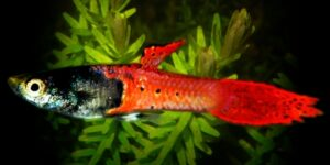 Red Metalhead Roundtail Guppy