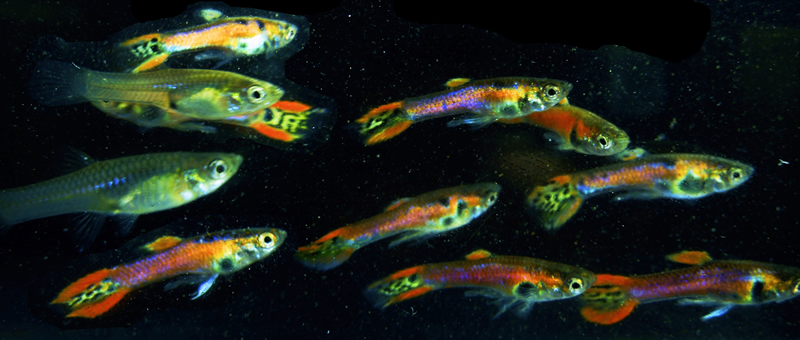 Exotic Rainbow Snakeskin Endlers