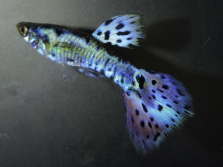 Steel Nebula Guppies