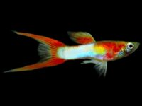 Japan Blue Doublesword Guppies