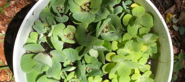 Dwarf Water Lettuce Culture Advice, Tips