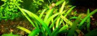 Dwarf Sagittaria Plants