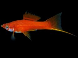 Red Brick Swordtail