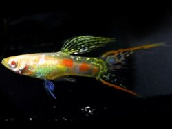 Albino Double Swordtail Guppy