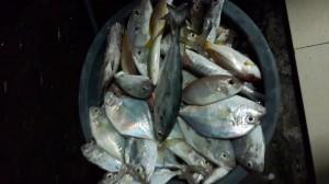 Ikan kue hasil pancing dari karang Keroya Pulau Kotok bersama KM Bintang Fajar