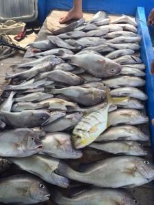 Sukses strike ikan kaci dal am trip bersama Km Bintang Fajar