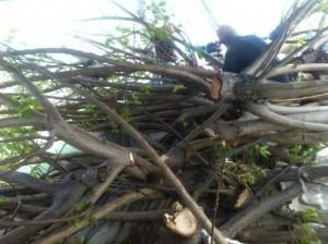Fishing-mancing.com dalam penyiapan batang pohon untuk rumpon ikan. Call 0818828526