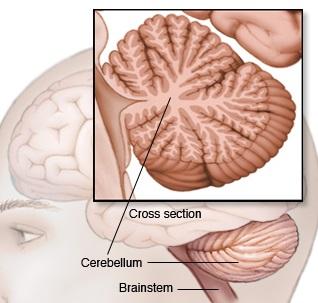 bn00033-cerebellum-and-brainstem