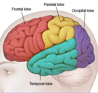 bn00033-lobes-of-the-brain