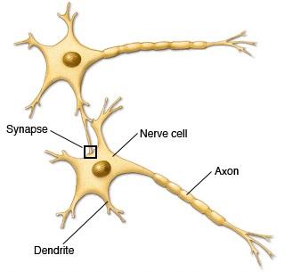 bn00033-nerve-cells